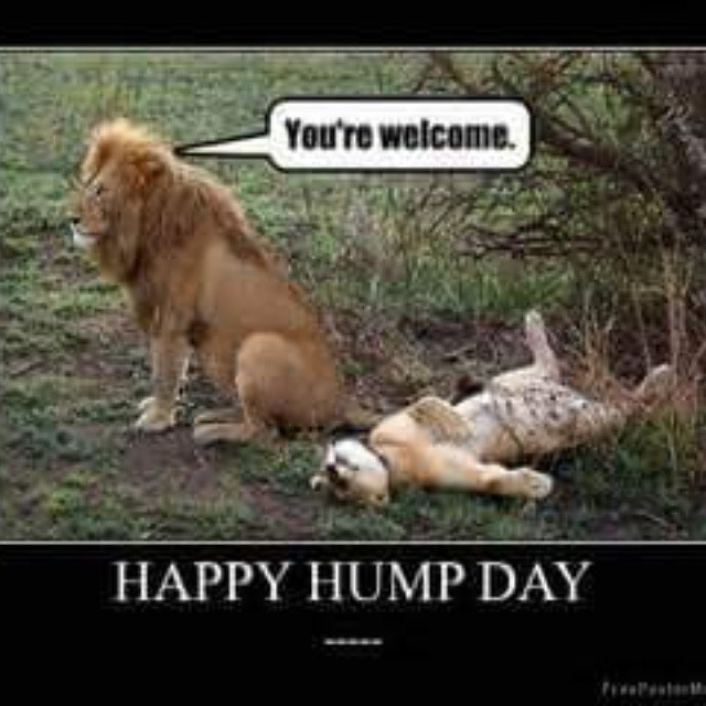 Happy Hump Day Lions