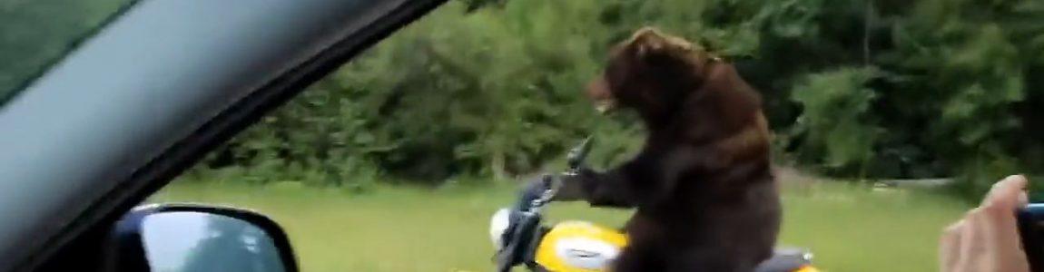 Rude Bear On Motorcycle