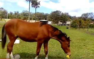 Horse With A Rubber Chicken
